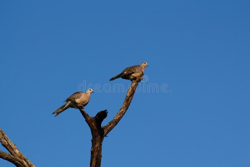 Les torringtoniae de Columba de ramier de Sri Lanka images stock