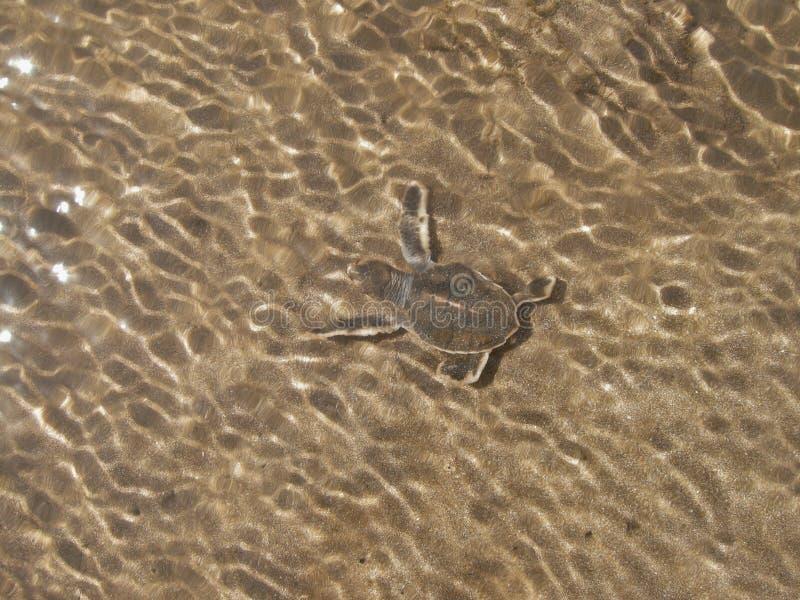 Les tortues de mer verte de Hatchling sur la plage dans l'eau sont finalement arrivées dans l'océan image libre de droits