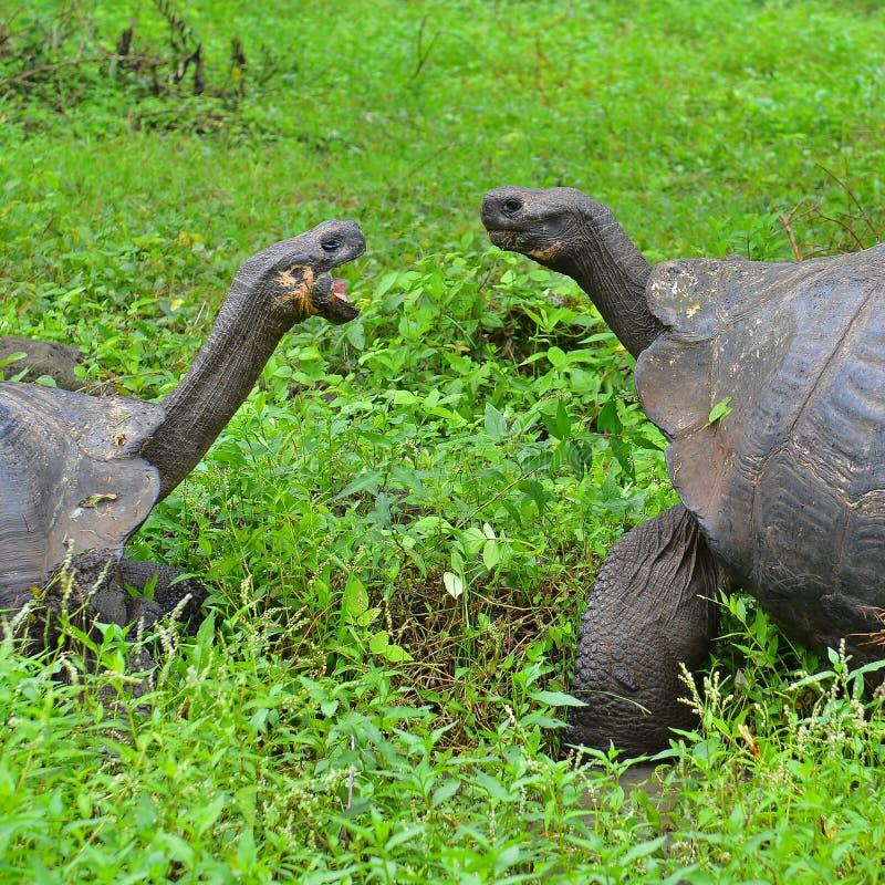 Les tortues géantes de Galapagos se ferment, des îles de Galapagos photo libre de droits