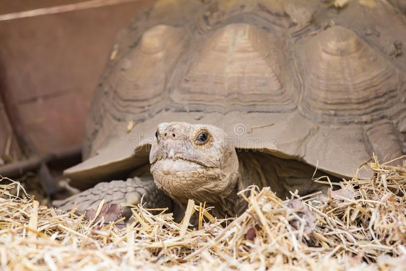 Les tortues rampent lentement sur l'herbe sèche dans le zoo image libre de droits