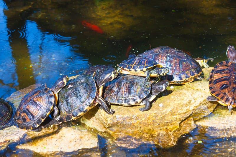 Les tortues se reposent dans la pierre en parc images stock