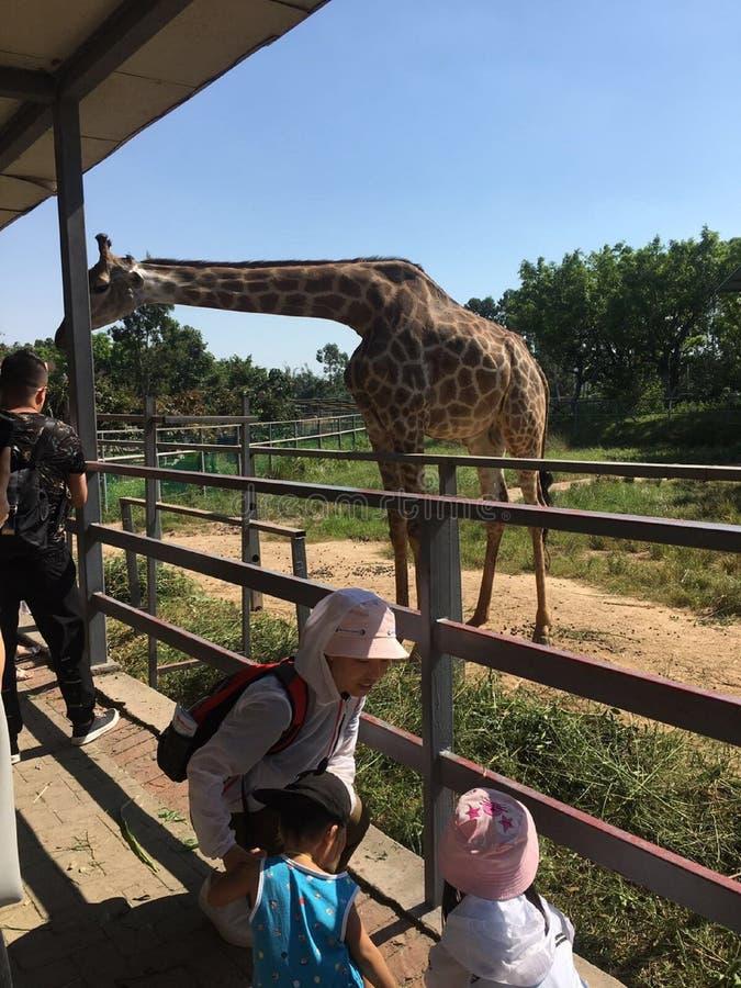 Les touristes alimentent les girafes au zoo photographie stock libre de droits
