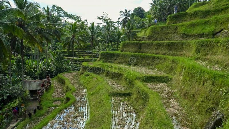 Les touristes marchent le long des terrasses des paddys de riz au tegallang sur Bali photographie stock libre de droits