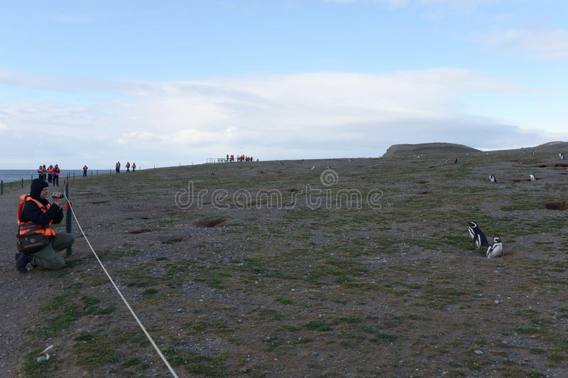 Les touristes observent des pingouins de Magellanic sur l'île de Magdalena dans le détroit de Magellan près de Punta Arenas image libre de droits