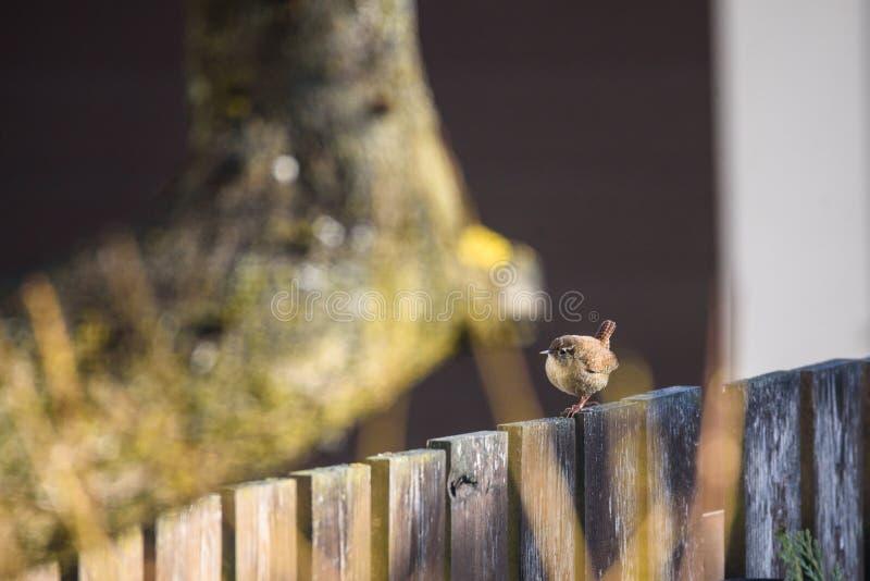 Les troglodytes eurasiens de troglodytes d'oiseau de roitelet sur la barrière en bois dans le jardin images libres de droits