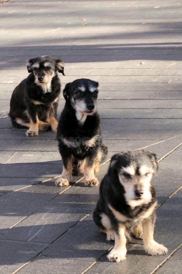 Les trois chiens obéissants attendent leur maître images stock