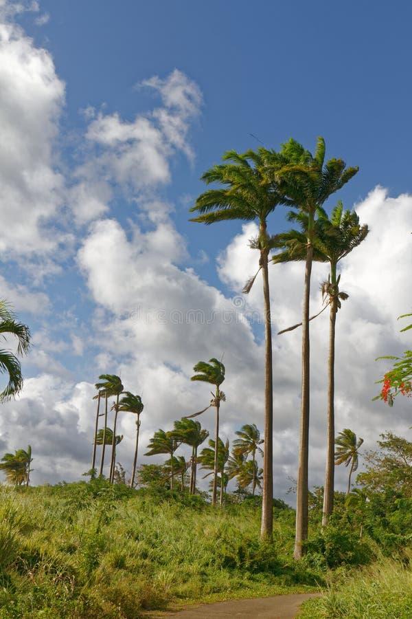 Les Trois-Ilets, Martinique - palmträd i La Pointe du Anfall royaltyfria bilder