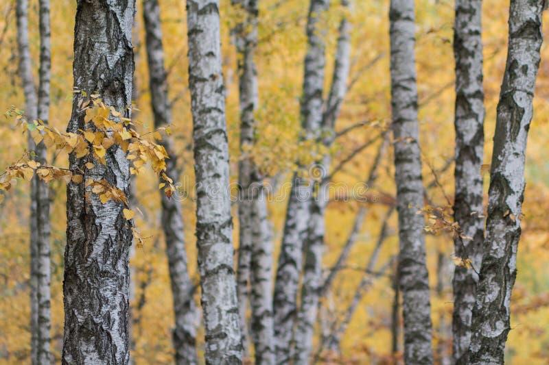 Les troncs blancs des arbres de birchwood contrastent les feuilles jaunes images libres de droits