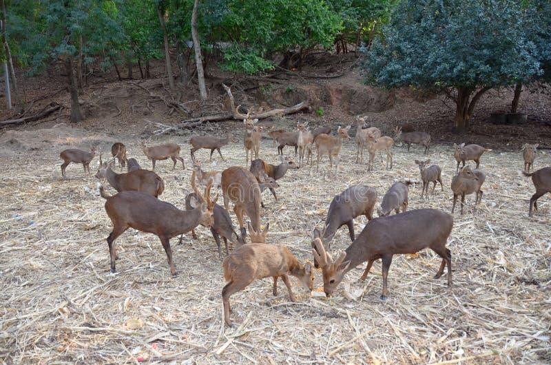 Les troupeaux de cerfs communs mangent de la nourriture images libres de droits