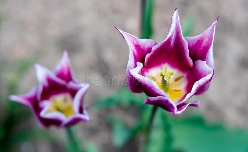 Les tulipes à deux tons rêveuses dans pourpre et blanc avec la race spéciale ont dirigé des pétales en miroitant la lumière photos libres de droits
