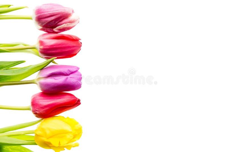 Les tulipes colorées fleurit dans une rangée d'isolement sur le fond blanc avec l'espace libre Mothersday ou concept de ressort photo libre de droits