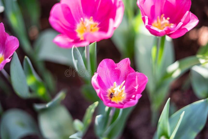 Les tulipes colorées mettent en place, les tulipes roses vives avec le fond jaune lumineux de tulipes La tulipe est la fleur nati image libre de droits