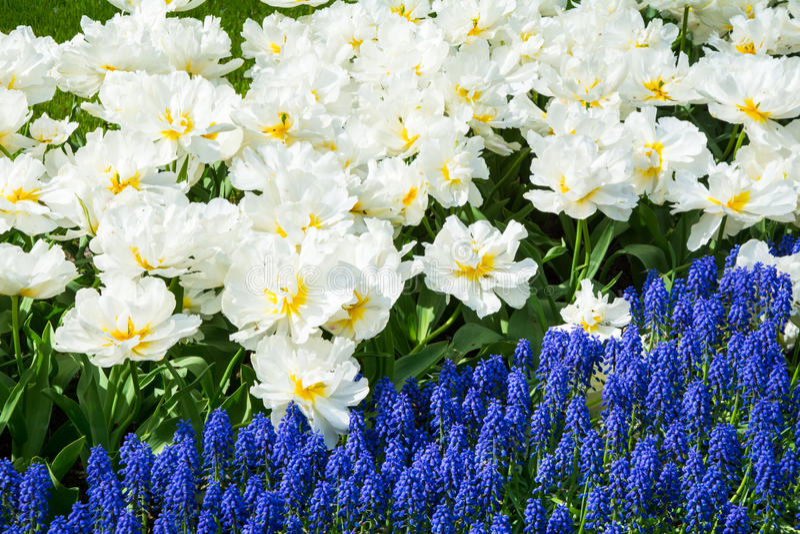 Les tulipes de floraison de blanc et la jacinthe bleue dans Keukenhof se garent dans le filet photo stock