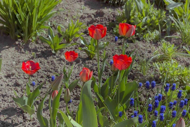Download Les Tulipes De Printemps Rouge Ont Fleuri Photo stock - Image du normal, lumineux: 56484324