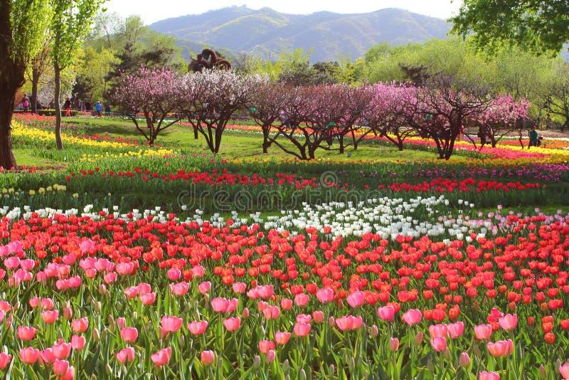 Les tulipes et la pêche fleurit au printemps photographie stock libre de droits