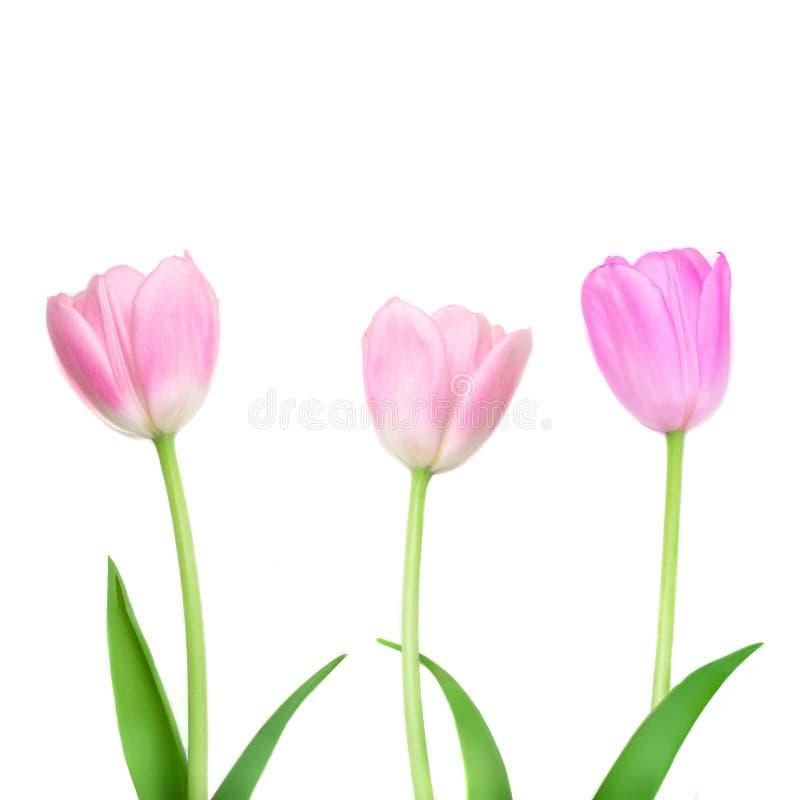 Les tulipes fleurissent d'isolement sur le fond blanc Rangée de belles fleurs de ressort photos libres de droits
