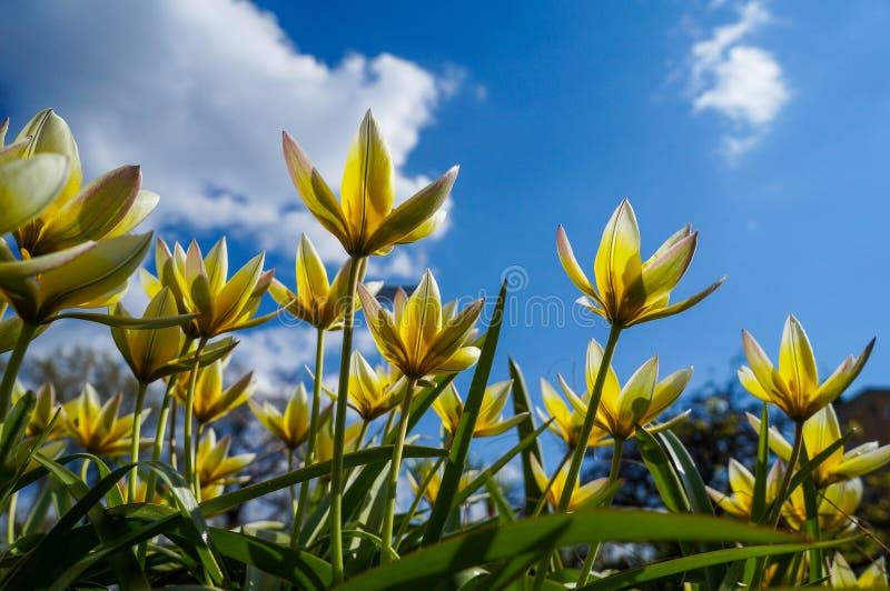 Les tulipes jaunes sur le parterre dans la ville se garent au printemps photo libre de droits