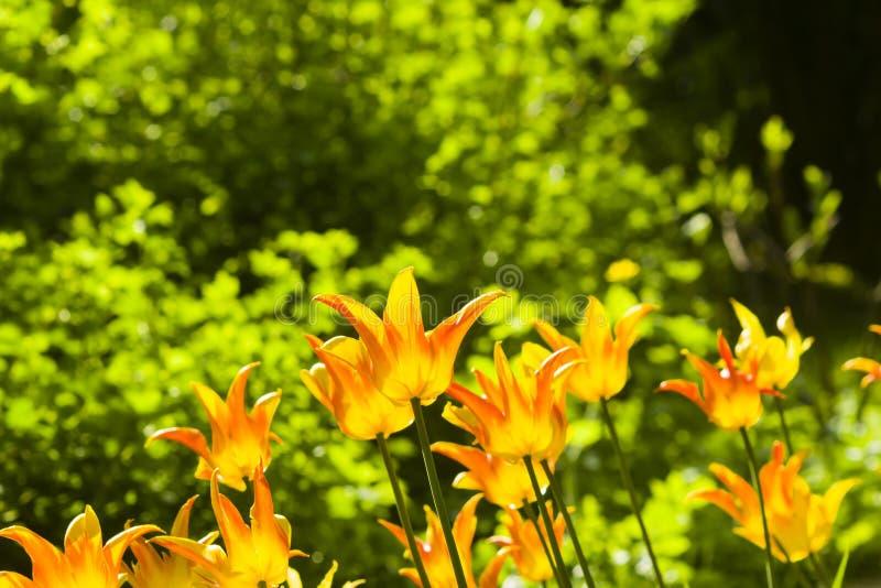 Les tulipes oranges de floraison ont éclairé l'après-midi à contre-jour avec le fond de bokeh, le foyer sélectif, DOF peu profond photos libres de droits