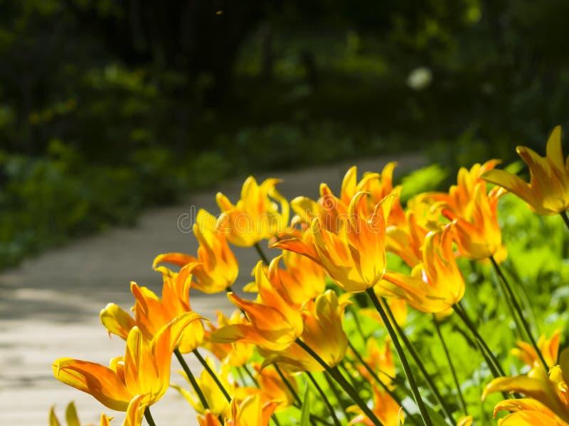 Les tulipes oranges de floraison ont éclairé l'après-midi à contre-jour avec le fond de bokeh, le foyer sélectif, DOF peu profond images libres de droits