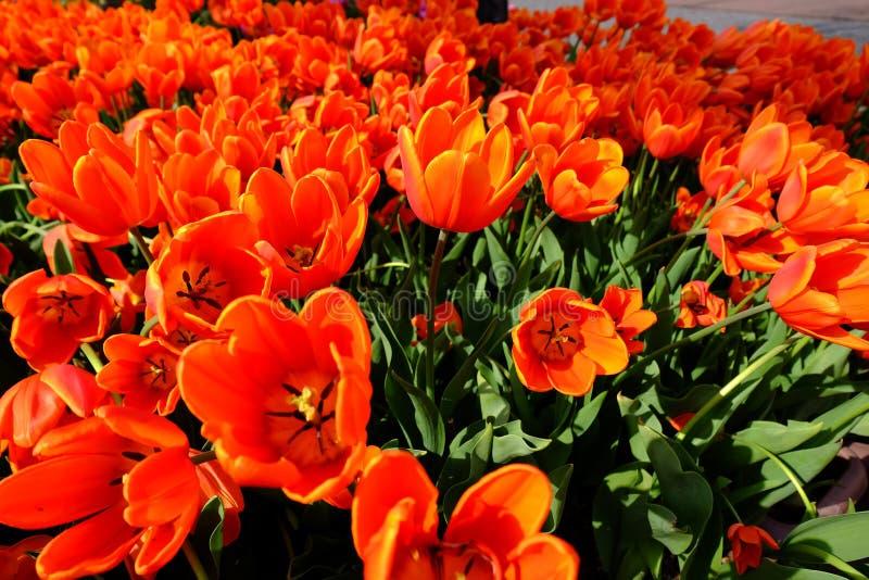 Les tulipes oranges se développent admirablement photos libres de droits