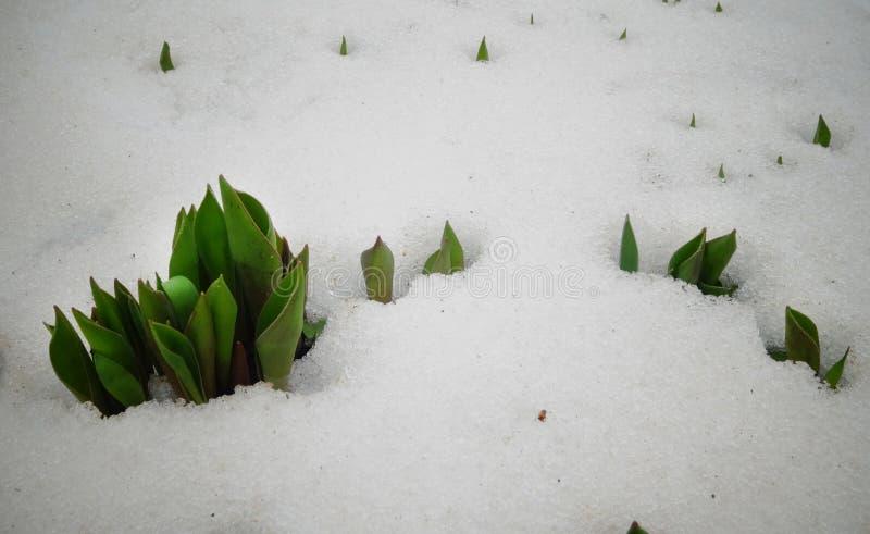Les tulipes, ressort fleurit la pousse de dessous la neige photographie stock libre de droits