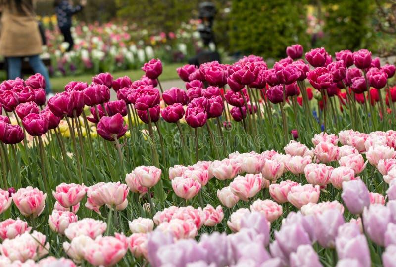 Les tulipes roses et pourpres fleurit la floraison dans un jardin photo stock