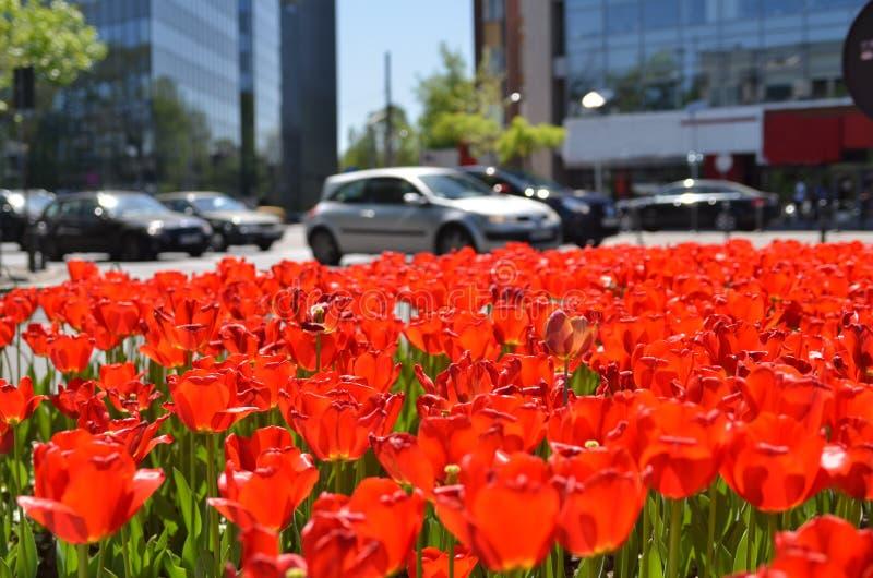 Les tulipes rouges fleurissent le lit dans la ville images stock