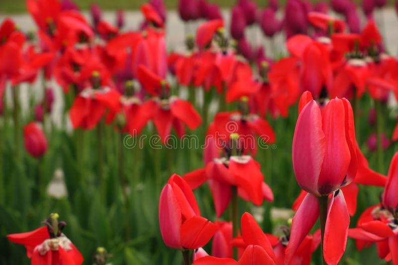 Les tulipes rouges mettent en place aux Pays-Bas Zones rouges de tulipe Vue rouge de tulipes Champs rouges de tulipe en Hollande image stock