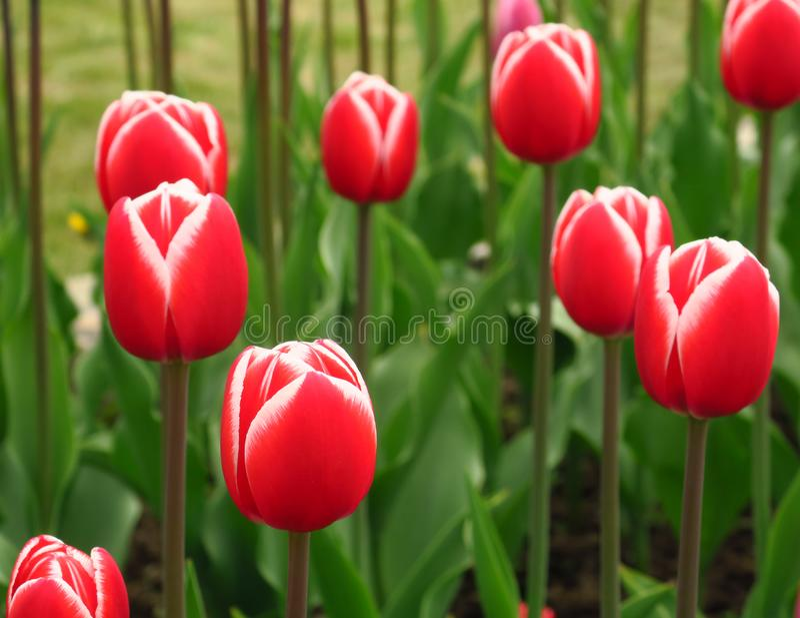 Les tulipes rouges mettent en place aux Pays-Bas Zones rouges de tulipe Vue rouge de tulipes Champs rouges de tulipe en Hollande image stock