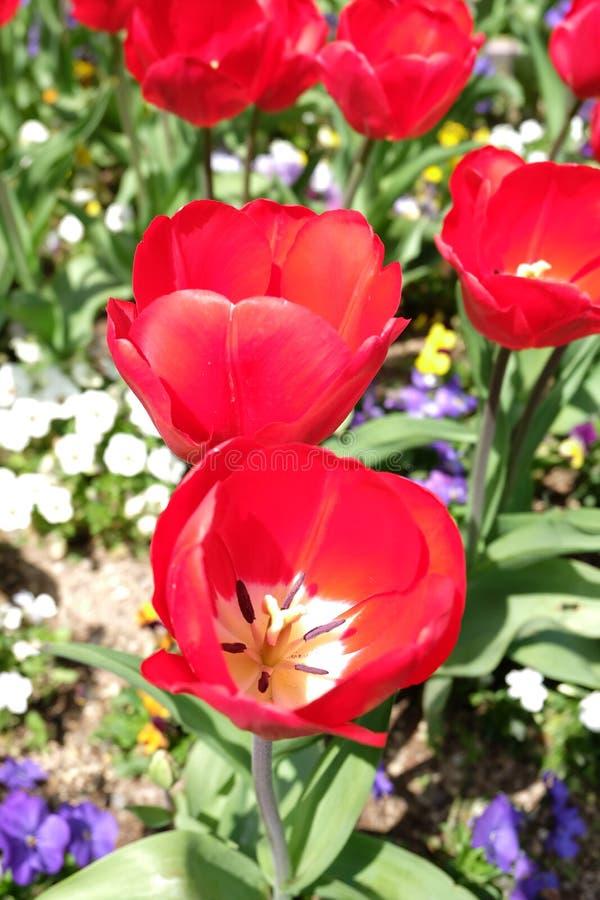 Les tulipes rouges se développent admirablement images stock