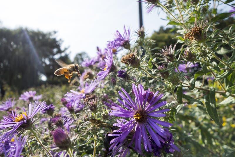 Les usines d'aster de Nouvelle Angleterre dans un pré de jardin avec une abeille de miel volant à elle est les fleurs pourpres av images libres de droits