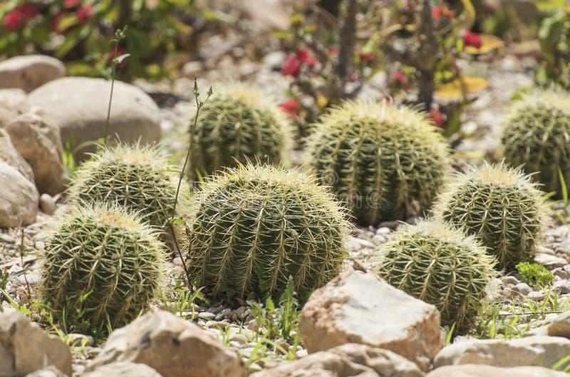 Les usines de cactus de baril dans un désert aride font du jardinage images stock