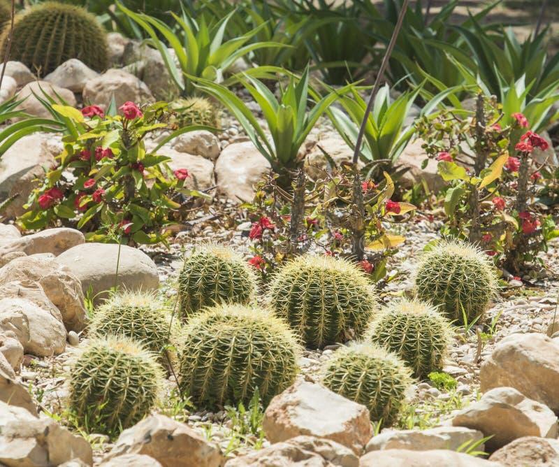 Les usines de cactus de baril dans un désert aride font du jardinage image libre de droits