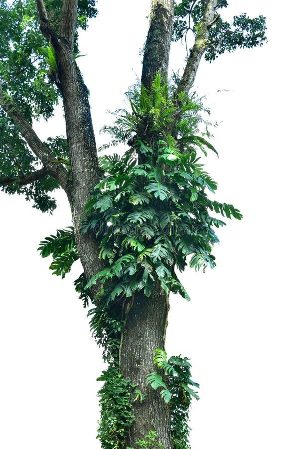 les usines de monstera grimpent à de grands arbres dans la forêt de sujet d'isolement sur le fond blanc images libres de droits