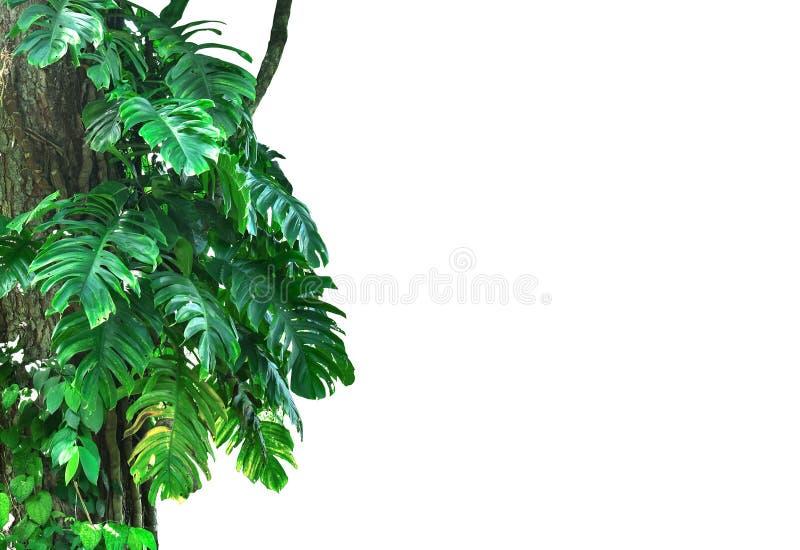 Les usines de Monstera grimpent à de grands arbres dans la forêt de sujet d'isolement sur le fond blanc images stock