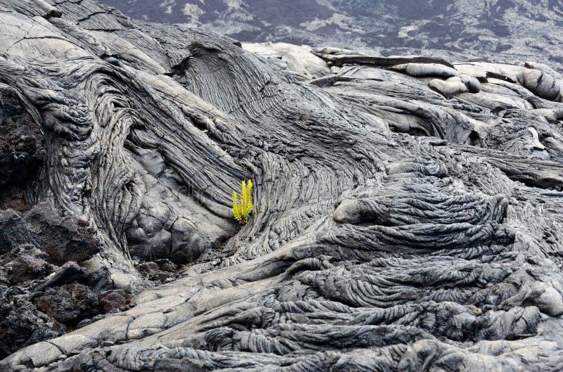 Les usines poussant en lave refroidie fend, grande île, Hawaï images libres de droits