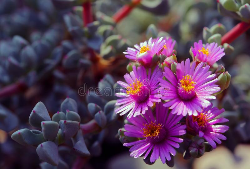 Les usines succulentes fleurissent bel attrayant photo libre de droits