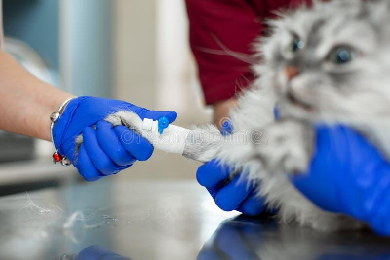 Les v?t?rinaires ont mis le chat de cath?ter avant proc?dure de chirurgie photo libre de droits
