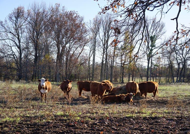 Les vaches à Hereford s'installent pour la nuit image libre de droits