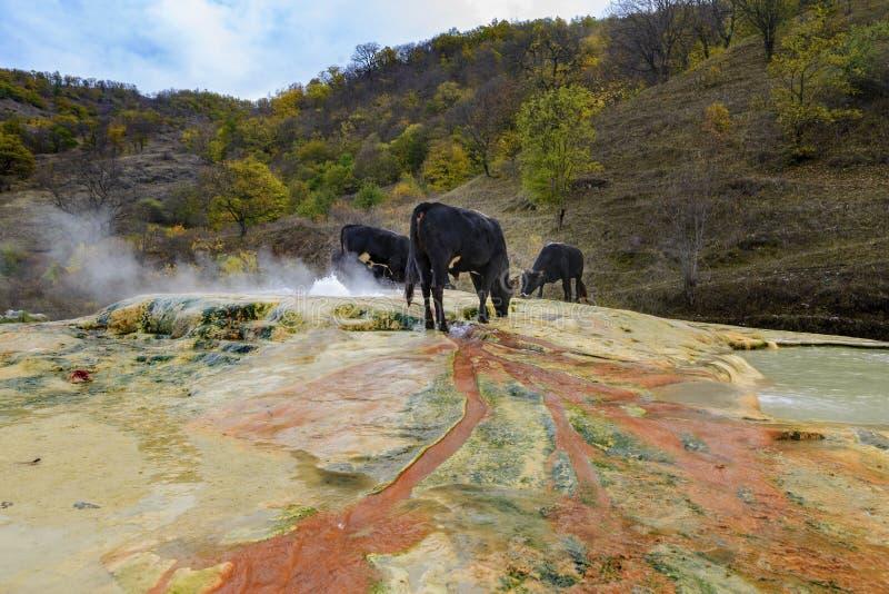 Les vaches a assoiffé trop et la boisson des sources thermales photographie stock libre de droits