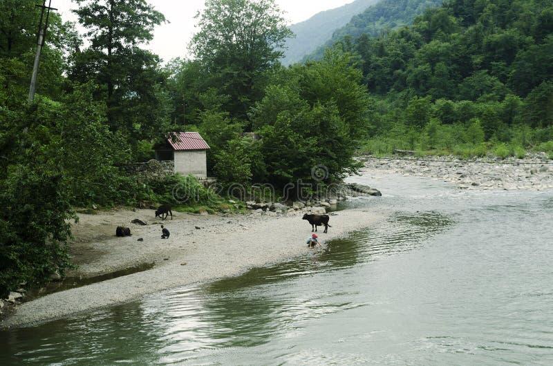 Les vaches avec des bergers frôlent sur les banques d'une rivière de montagne photographie stock