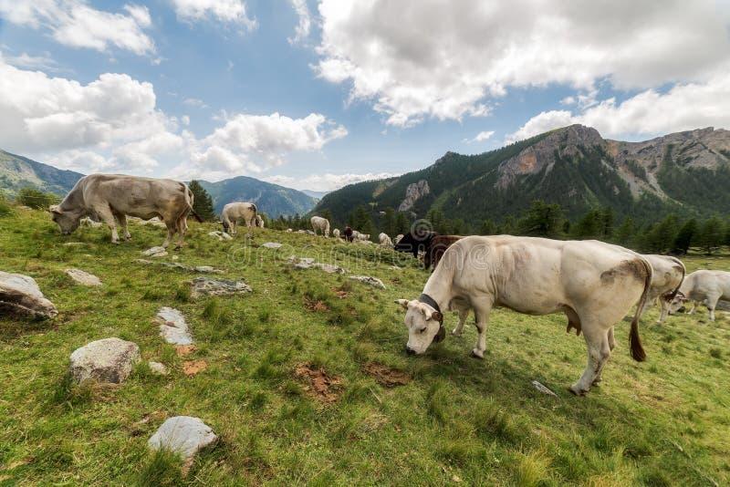 Les vaches de la montagne photos libres de droits