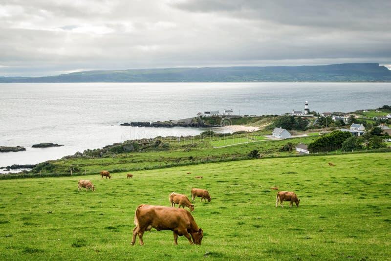 Les vaches frôlant à Shrove photo libre de droits
