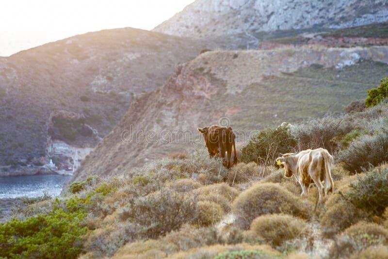 Les vaches frôlent en montagnes image libre de droits