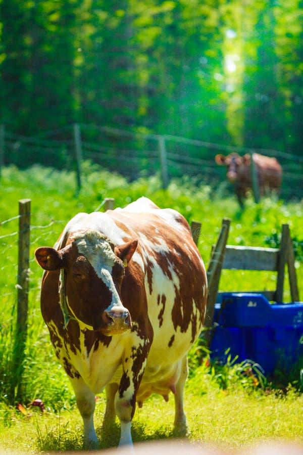 Les vaches frôlent sur le champ vert de pré image libre de droits