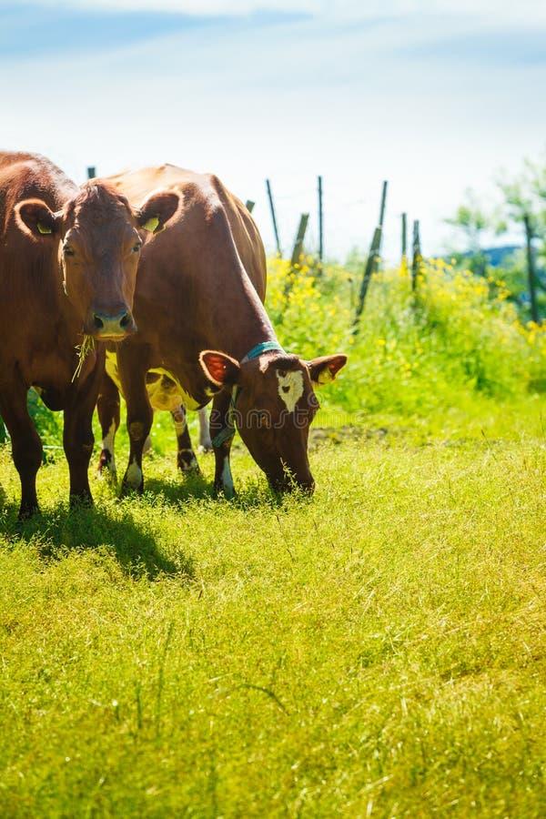 Les vaches frôlent sur le champ vert de pré photo stock