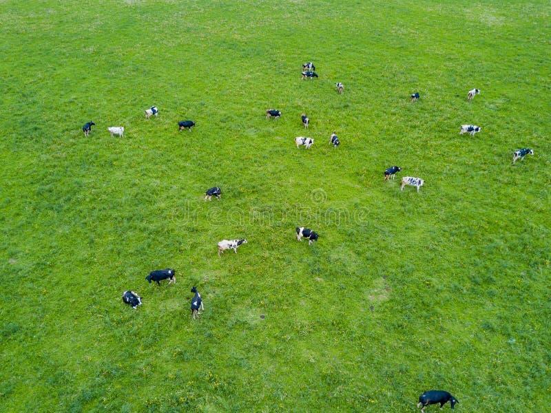 Les vaches fr?lent dans un pr? vert photos libres de droits
