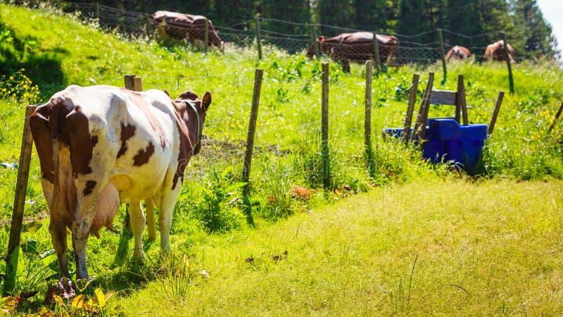 Les vaches frôlent sur le champ vert de pré photographie stock