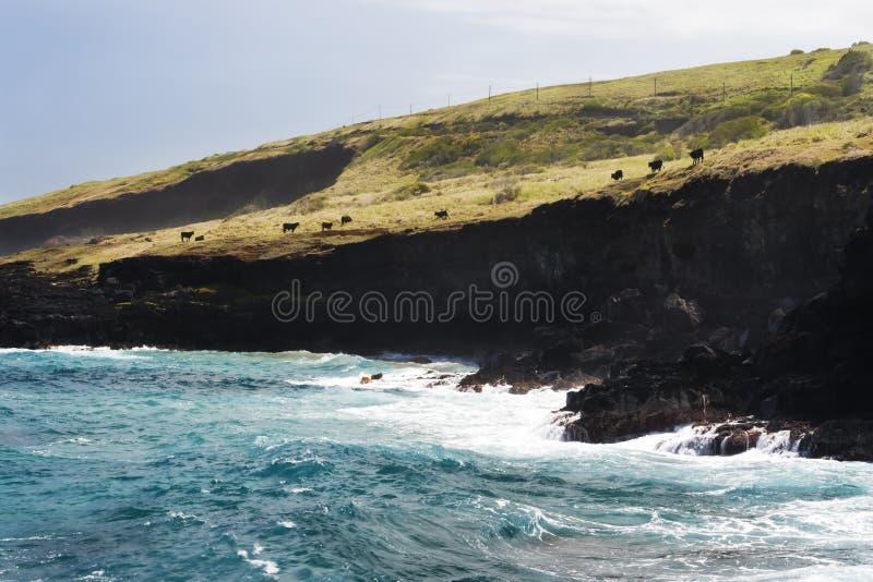 Les vaches frôlent sur les falaises noires en Hawaï image libre de droits