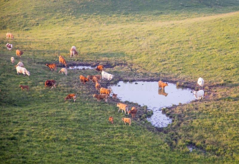Les vaches frôlent sur un beau paysage de montagne au coucher du soleil images stock
